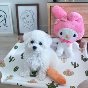 cute bichon frise puppy