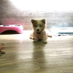 cute corgi puppy