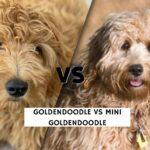 Goldendoodle vs Mini Goldendoodle