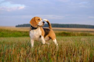 Basic Obedience Training Using Shock Collars