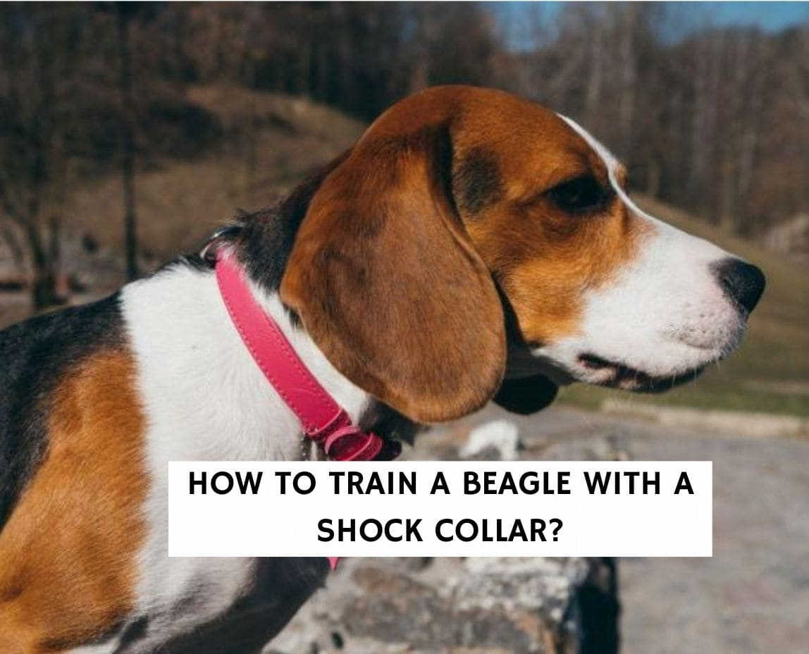 How To Train A Beagle With A Shock Collar?