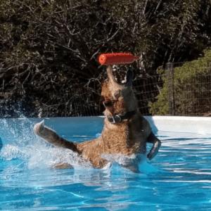 DCR Working Australian Cattle Dogs