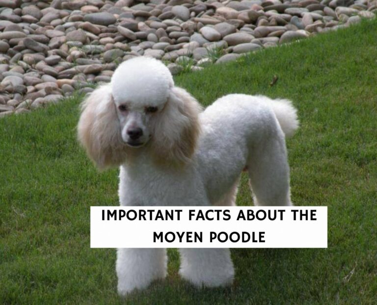 Important Facts about the Moyen Poodle