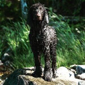 irish water spaniel nonshedding large dog