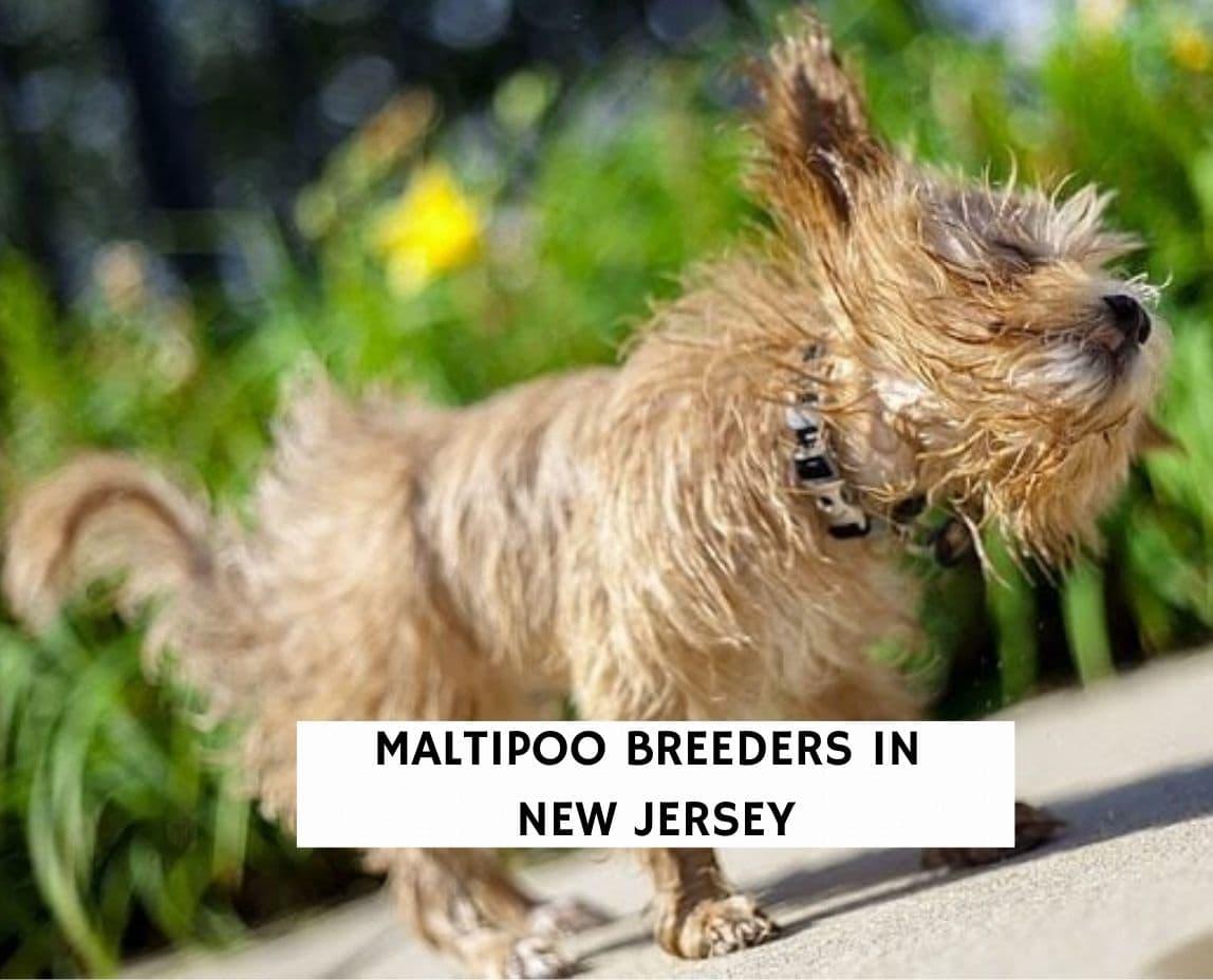 Maltipoo Breeders in New Jersey