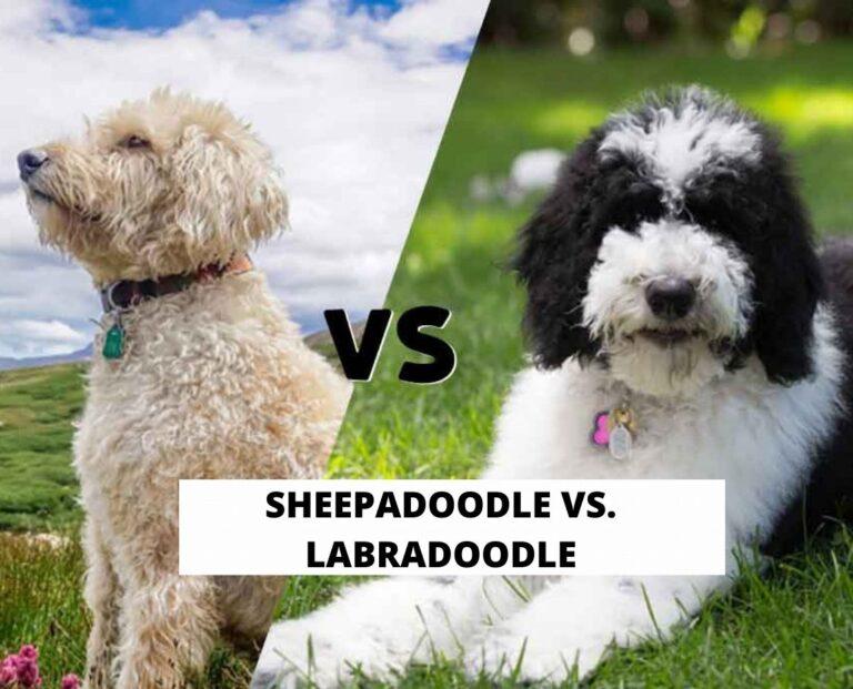 Sheepadoodle vs. Labradoodle