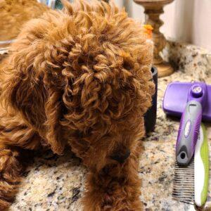 slicker brush for poodles