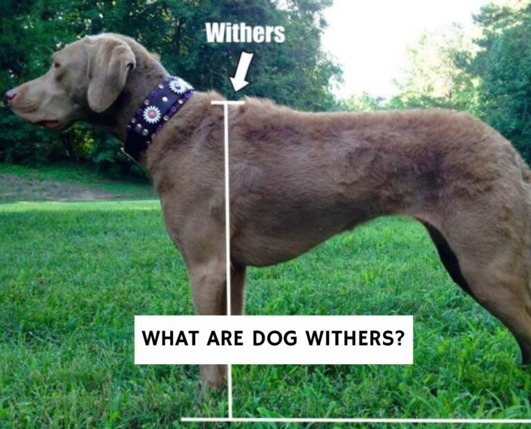 What Are Dog Withers?