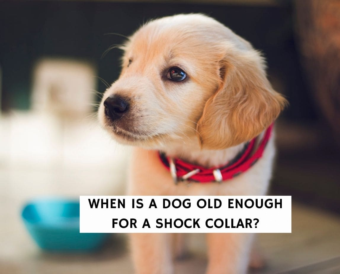When is a dog old enough for a shock collar?