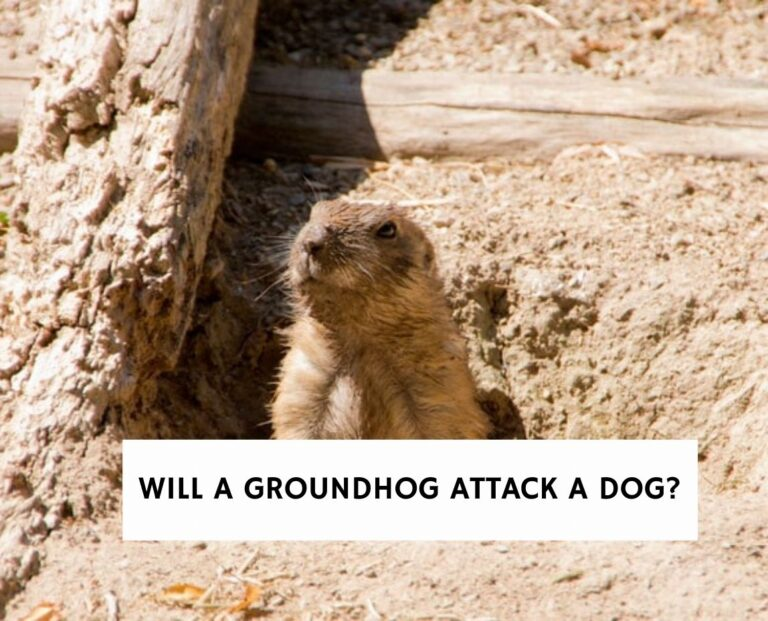 Will a Groundhog Attack a Dog?