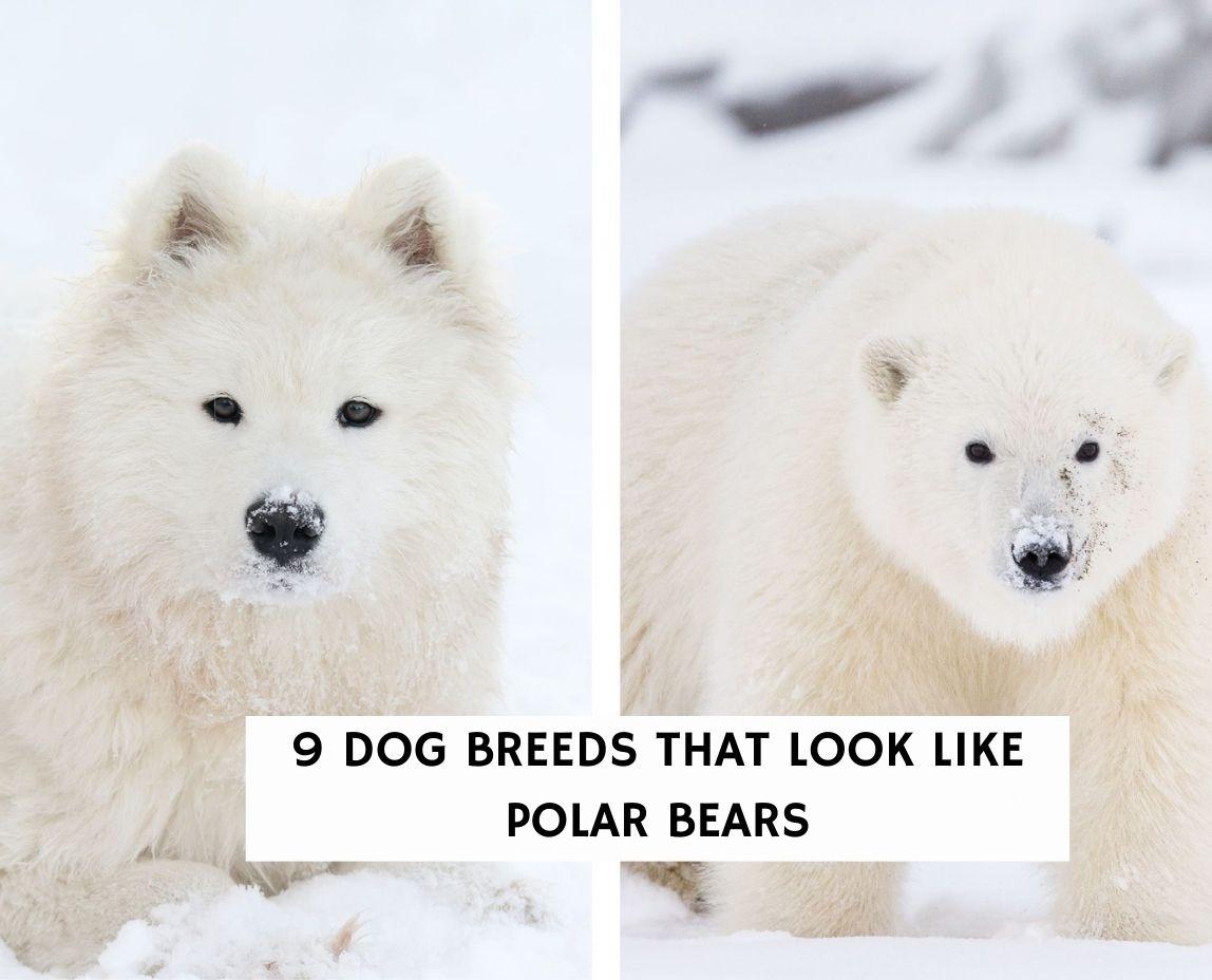 9 Dog Breeds That Look Like Polar Bears