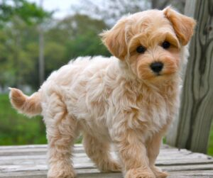 A Quick Look at What the Maltipoo Is
