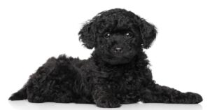 Are Black Toy Poodles Hypo-Allergenic