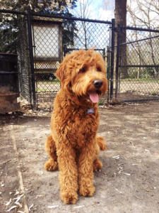 Daisey's Goldendoodles Seattle