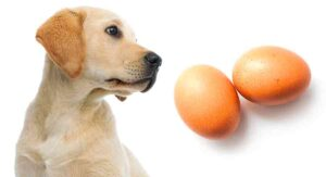 How Many Eggs Can a 15lb Dog Eat