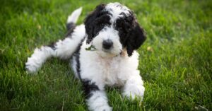 How to Prevent Sheepadoodle Shedding