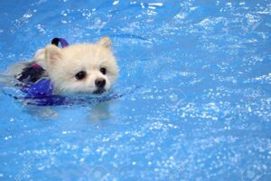 Is Swimming Good for Pomeranians?
