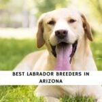 Labrador Breeders in Arizona