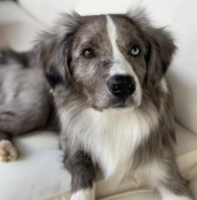 Learning About The Australian Shepherd Dog Breed