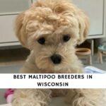 Maltipoo Breeders in Wisconsin