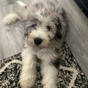 Other Factors That Affect a Sheepadoodle Shedding