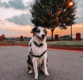 PuppySpot's Australian Shepherds for Florida