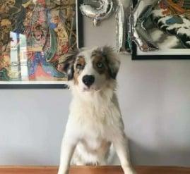 PuppySpot's Australian Shepherds for Ohio