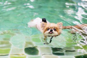 Should I Teach My Pomeranian How to Swim