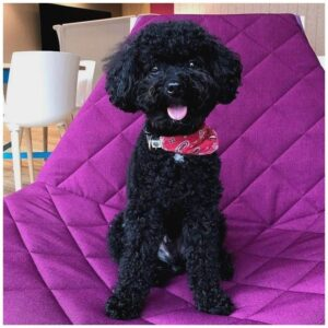 The Benefits of a Black Toy Poodle