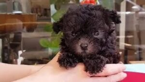 The Disadvantages of Black Toy Poodles