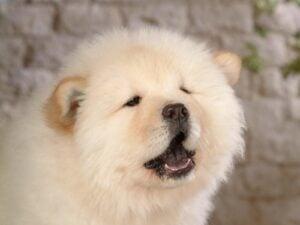 What Makes a Dog Look Like a Polar Bear