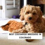 Best Cockapoo Breeders in Colorado