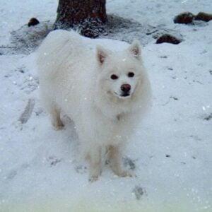 big white American Eskimo Dog