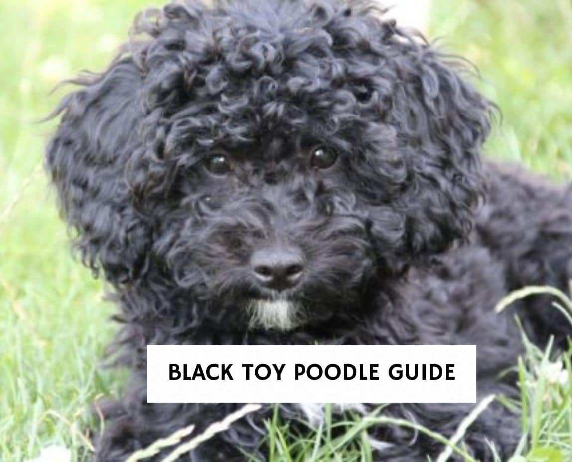 Black Toy Poodle Guide