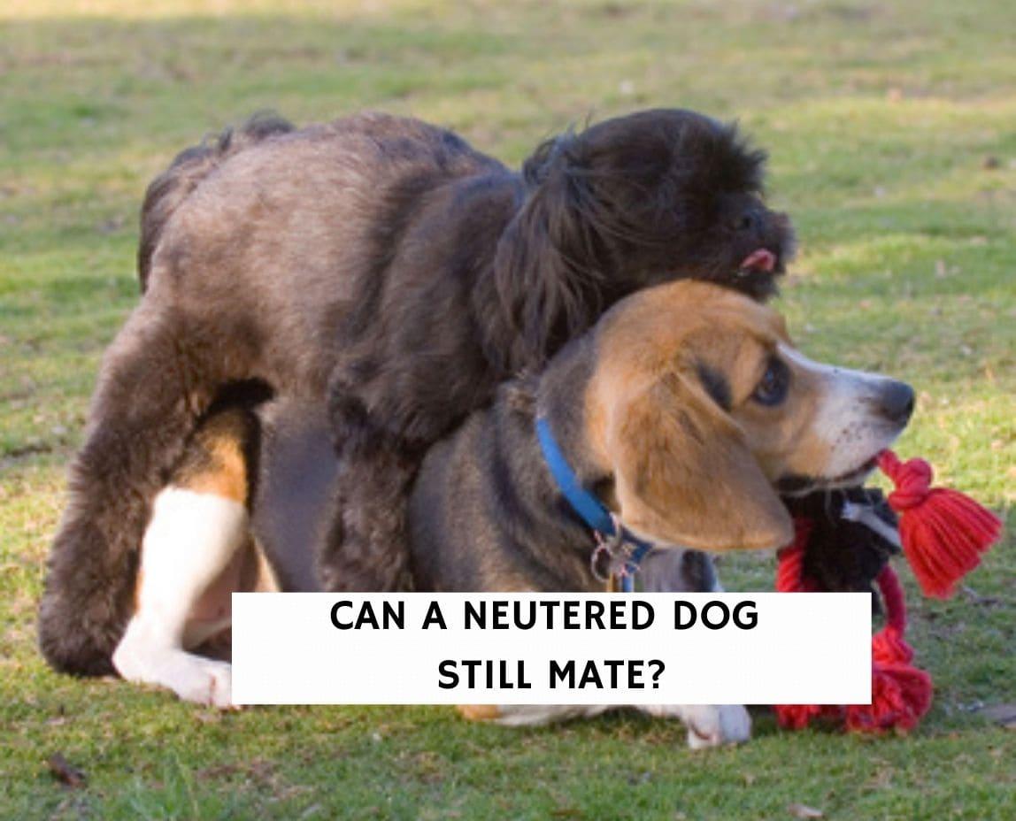 Can a neutered dog still mate?