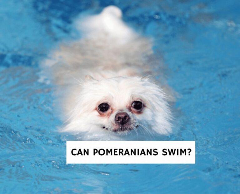 Can Pomeranians Swim?
