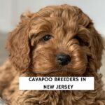 Cavapoo Breeders in New Jersey