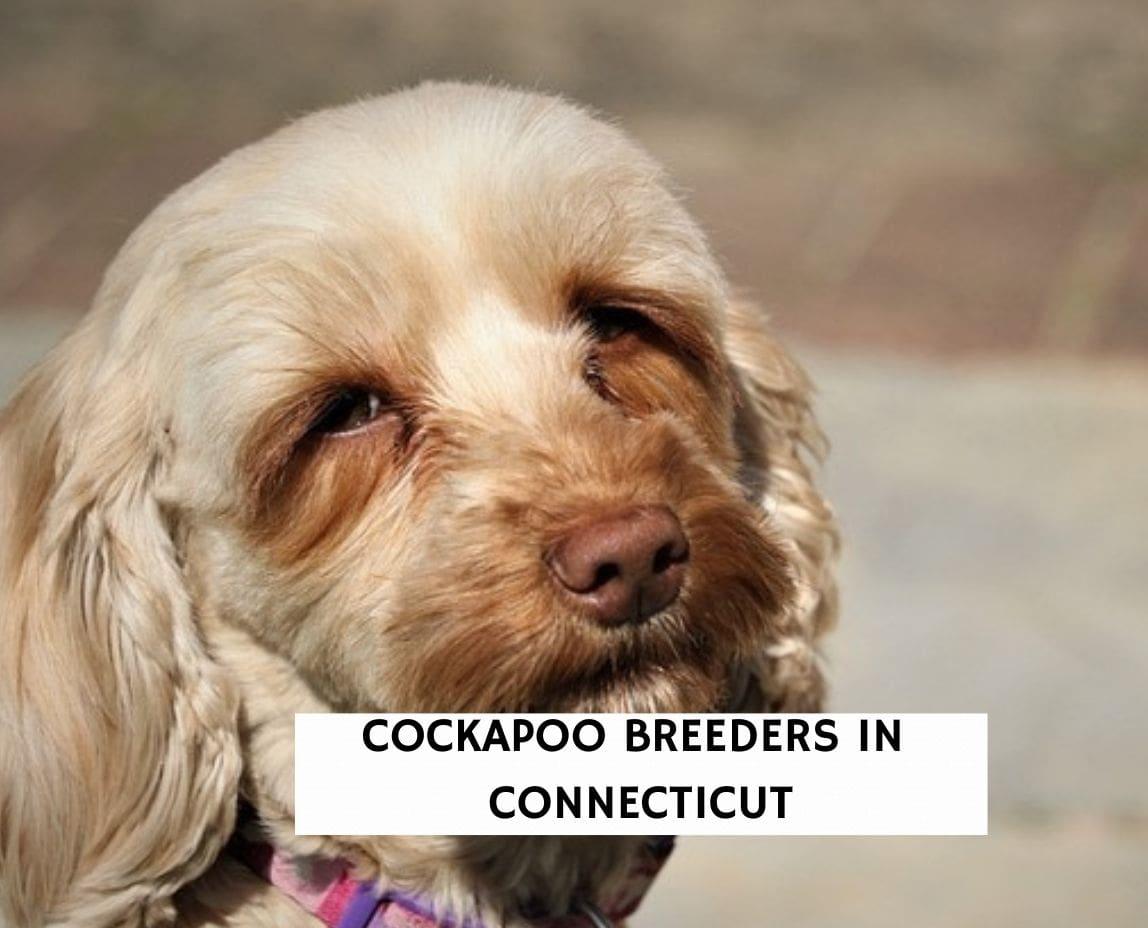 Cockapoo Breeders In Connecticut