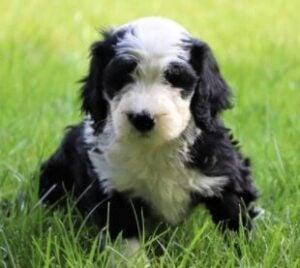 crockett doodles shepadoodle puppies for sale