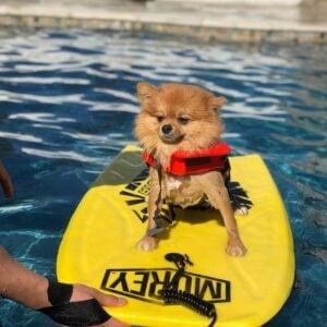 do pomeranians like to swim