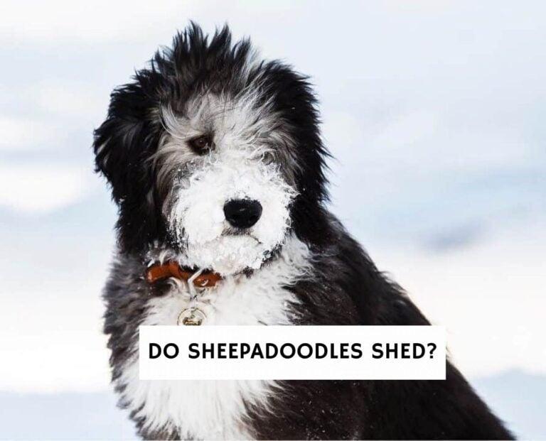 Do Sheepadoodles Shed?