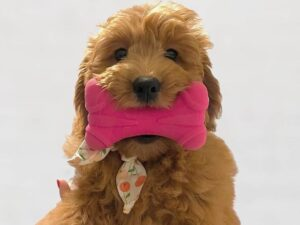 goldendoodle puppies for sale seattle