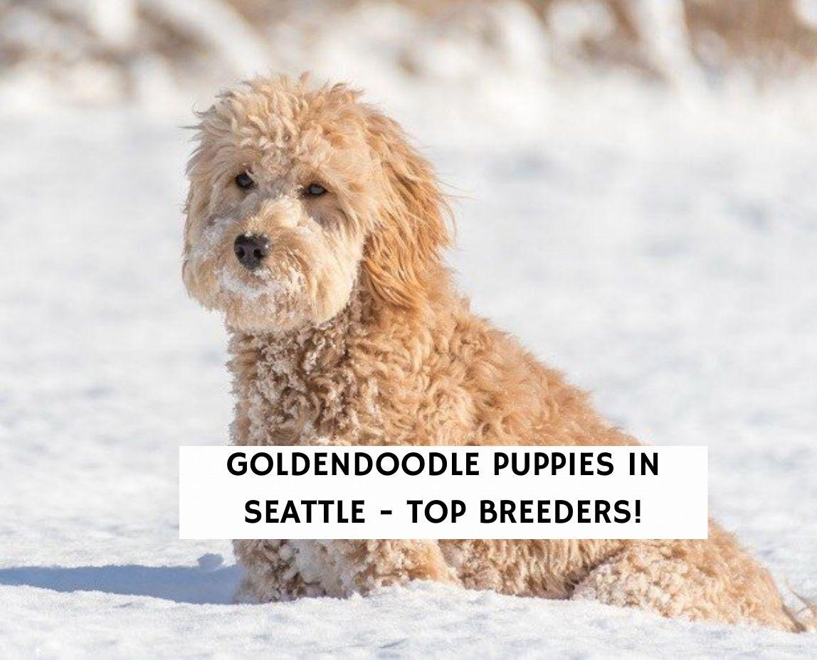 Goldendoodle Puppies in Seattle - Top Breeders!