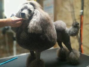 grooming scissors for poodles