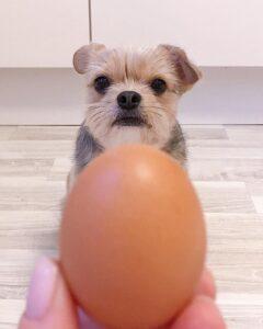 how many eggs can i feed my dog