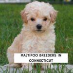 Maltipoo Breeders In Connecticut