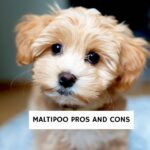 Maltipoo Pros and Cons