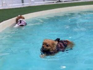 pomeranian puppies swimming