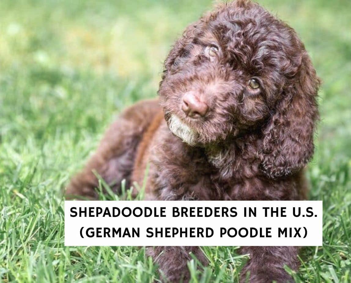 Shepadoodle Breeders in the U.S. (German Shepherd Poodle Mix)