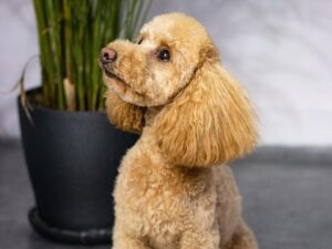 thinning shears poodle
